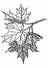 Maple Sugar Coloring Leaf Tree Clip Drawing Leaves Clipart Psf Maples Cliparts Nature Commons Vector Wikimedia Honors Adventist Answer Youth sketch template