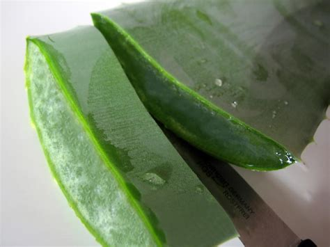 aloe vera schneiden aloe vera gel schw 228 mmchen