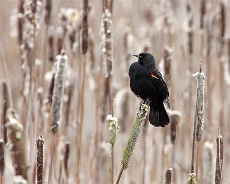 red winged blackbird habitat one of my favorite birds