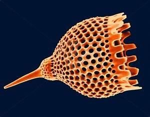 17  Images About Diatoms  U0026 Radiolaria On Pinterest