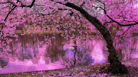 Spring Blooming Trees, Pink Blossoms Of Cherry River