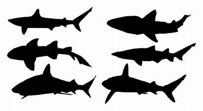 Shark Silhouette Transparent Thresher Drawing Getdrawings Onlygfx