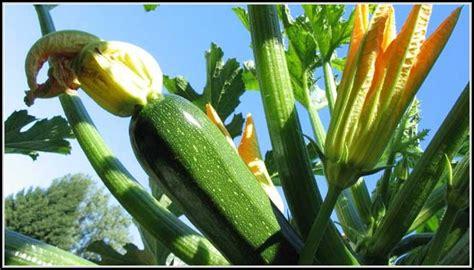 zucchini im garten zucchini im garten pflanzen garten house und dekor galerie 3erozgb1q5