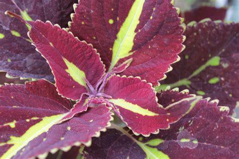 stranges garden center coleus   versatile annual