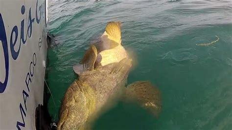 goliath merou grouper fishing hd
