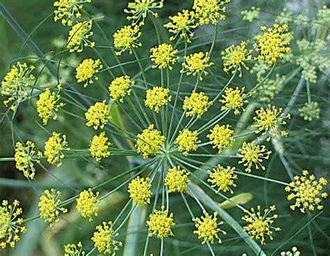 tanaman adas fennel foeniculum vulgare fennel explorepharma