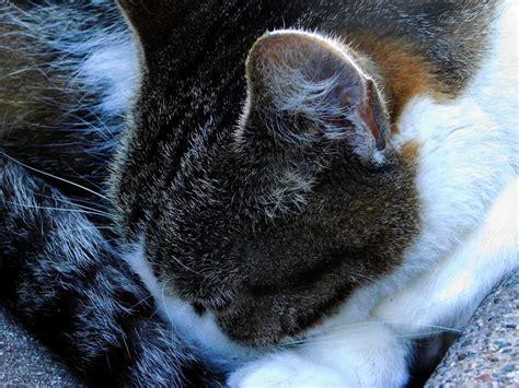 cat ear ears pockets pocket cold cats henrys harmless henry