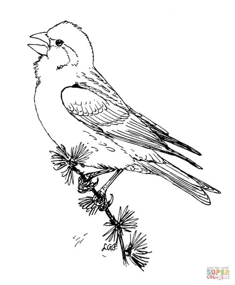 purple finch coloring page  printable coloring pages