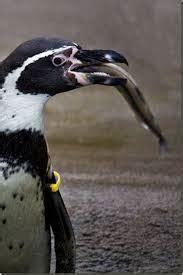 What Do Emperor Penguins Eat Fish