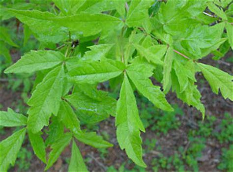 flower maple bernheim arboretum  research forest