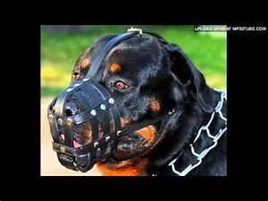 Rottweiler On Steriods - YouTube