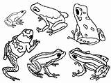 Frog Dart Poison Frogs Coloring Pages Printable Clipart Drawing Animals Animal Glass Sheets Outline Print Clip Darts Colouring Drawings Posion sketch template