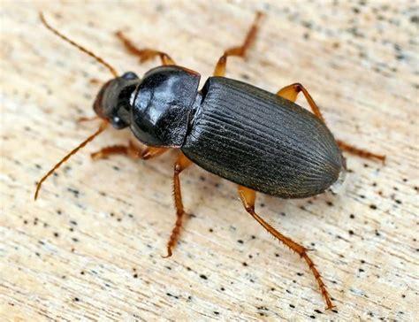 File:Carabidae (2005-08).jpg - Wikimedia Commons