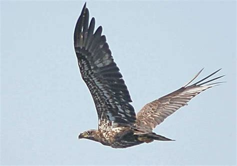 birds of north brevard bald eagles titusville florida