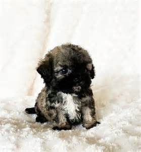 Tiny Teacup Maltipoo Puppies Teddy Bear