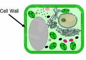 10 Facts about Cell Wall | Fact File