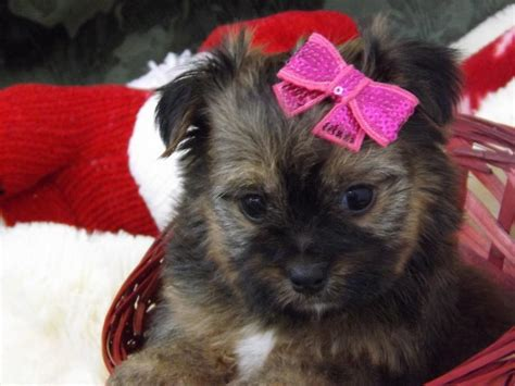 tiny non shedding dog pictures dog breeds picture