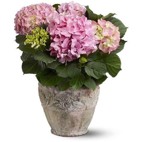 pink hydrangea plant flowers san antonio san antonio