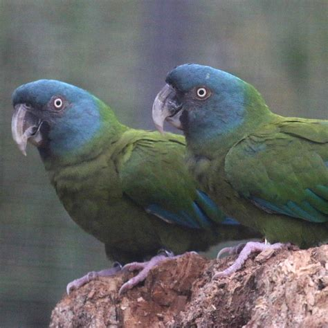 blue headedcoulons macaw