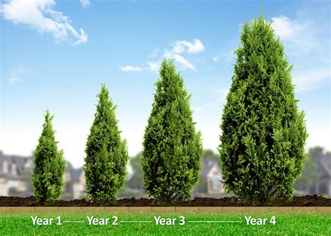 fast growing trees for privacy emerald green arborvitae hedge trees emerald color and
