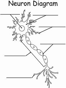 Printable Worksheet  Neuron Diagram
