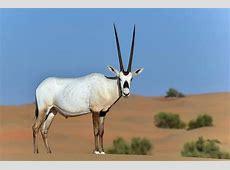 Image Arabian oryxjpg Japari Library Wiki FANDOM