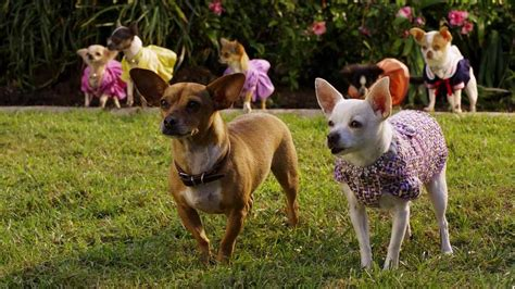 beverly hills chihuahua   backdrops
