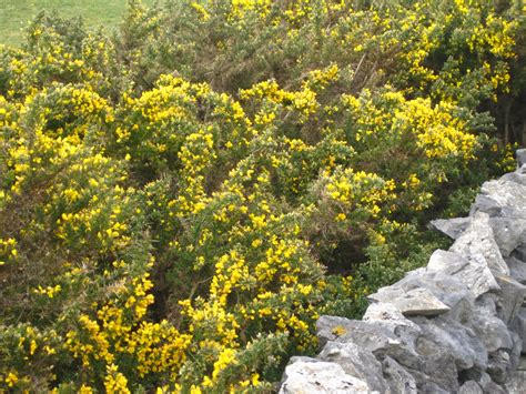 bush yellow flowers in yellow flowers inis me 224 in and aussie style how s the serenity