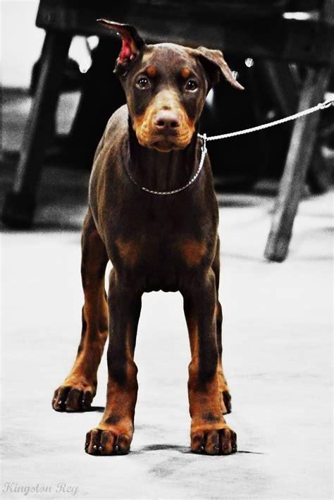 doberman puppy    international dog show