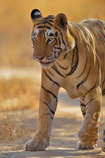 Best Images About Big Wild Cats Pinterest