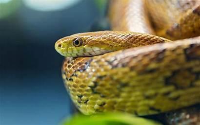 Snake Snakes Viper Wallpapers Desktop Anaconda 3d