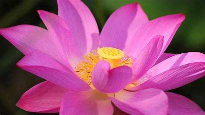 Lotus Flower Wallpapers Close Desktop Backgrounds Pink