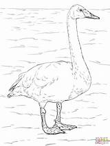 Swan Coloring Tundra Whooper Pages Swans Animals Drawing Trumpeter Printable Supercoloring Colouring Arctic Drawings Bird Birds Owl Taiga Printables Designlooter sketch template