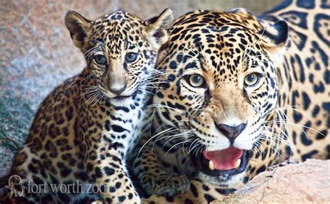 Baby Jaguar Born At Texas Zoo