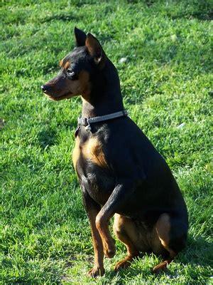 dog tricks  miniature pinschers dog care daily puppy