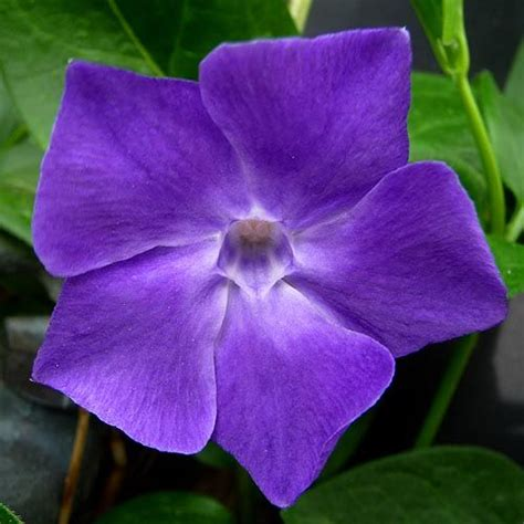 vine with purple flowers vinca big periwinkle gardening pictures