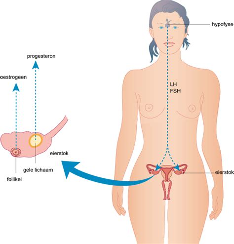 oestrogeen man