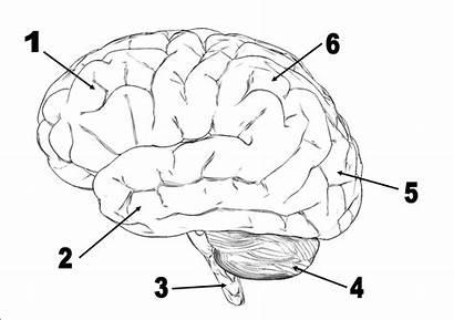 Brain Quiz Test Questions Label Lobes Behavior