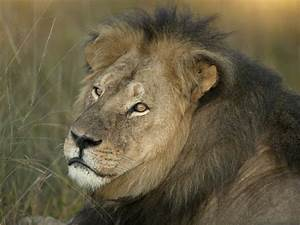 Cecil the lion - Famed lion, known as Cecil, hunted and ...