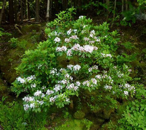 pictures of mountain laurel shrubs mountain laurel kalmia latifolia my cherokee garden