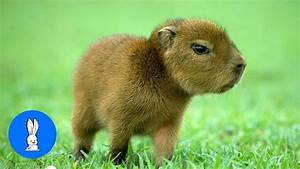 Baby Capybara Playing - CUTEST Compilation - YouTube  Cutest