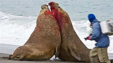 Walrus Vs Elephant Seal by The Bloody Battle Between Two Elephant Seals