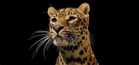 jaguar roar  ringtone downloads animal ringtones