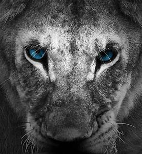 Image Gallery lion black blue