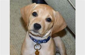 Mixed Puppy Breeds Pictures - Goldenacresdogs.com