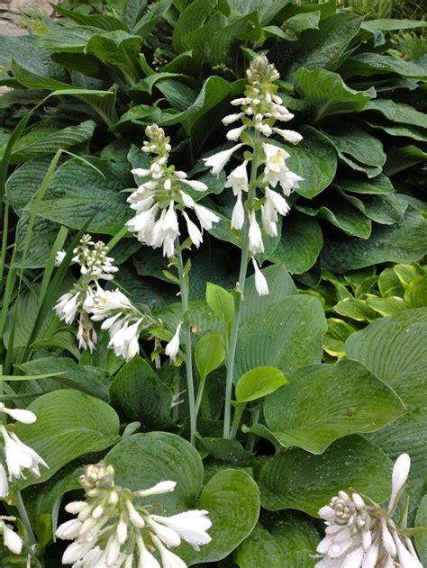 types of hosta plants hosta flowers 1 ooo hosta varieties for sale great plants mostl