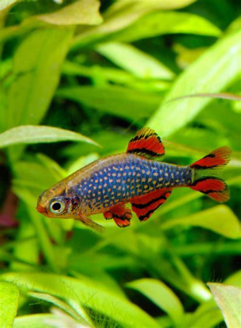 aquarium ab wann fische einsetzen perlhuhnb 228 rbling haltung und zucht danio margaritatus