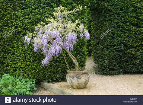 small wisteria abbey house garden wiltshire uk early summer small wisteria stock photo royalty free image