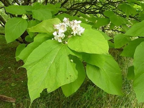 catalpa bignonioides aurea indian bean tree plant lust