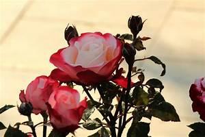 Wann Schneidet Man Rosen Zurück : rose nostalgie als hochstamm preis pflege und mehr ~ Orissabook.com Haus und Dekorationen
